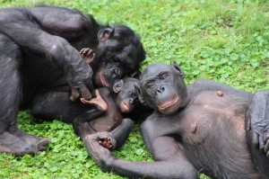 Our Closest Relatives, the Sexy Bonobos
